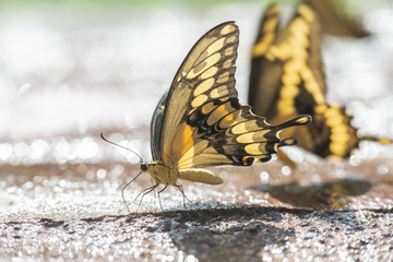 Mariposa Corola Pilumnus comiendo sobre fango