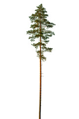 Tall pine tree isolated on a white background