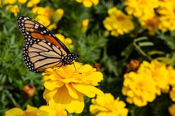 Vibrant Garden Butterfly