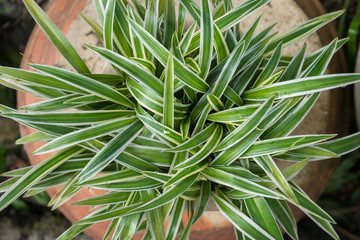 Top view of the Chlorophytum Comosum, it also known as spider plant.