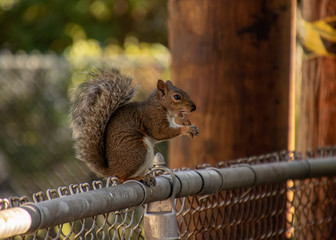 Midwestern USA squirrel, Sciurus carolinensis, sitting on fence eating peanut