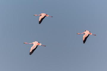 Puna Flamingos in Ansenuza National Park, Argentina