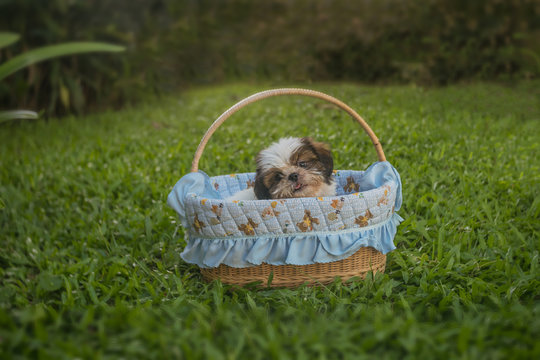 Shih tzu puppy breed tiny dog , age 3 monthIn, the basket in the garden