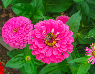 colorful beautiful flowers of zinnia in the city park.