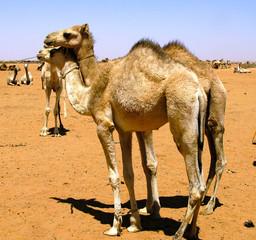 Camels in the camel market, Omdurman Sudan