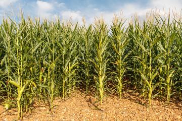 Tierra sembrada de maíces. Maizal. Campo de maíz.
