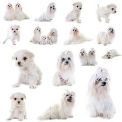 group of maltese dog