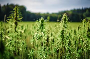 Cannabispflanzen unter freiem Himmel