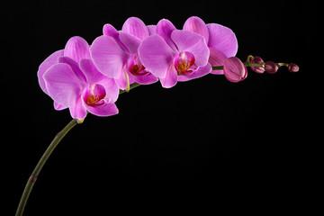 Tuinposter Orchidee Purple Phalaenopsis orchid flowers on black background.