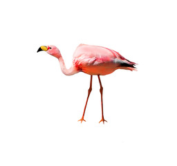 James's flamingo bird isolated on white background. Also known as the puna flamingo, is populates in high altitudes of Andean plateaus  in Peru. Chile. Bolivia and Argentina