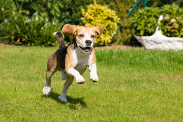 beagle running in the garden