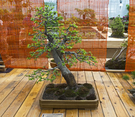 "Apple tree - Bonsai in the style of ""Straight and free""."