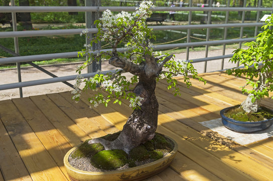 """Mahaleb cherry - Bonsai in the style of """"Straight and free""""."""