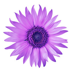 flower amethyst blue sunflower, isolated on a white  background. Close-up.  Nature.