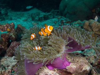 Tree nemo Clownfish in its host anemone