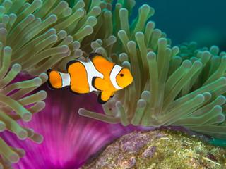 search photos clown fish