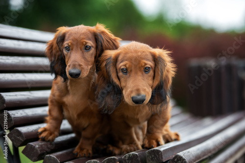 two dachshund puppies on a bench outdoors