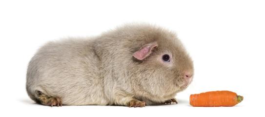 Teddy Guinea Pig, against white background