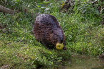 Beaver at waterside Netherlands
