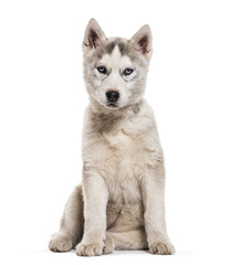 Husky dog, 2 months old, sitting against white background
