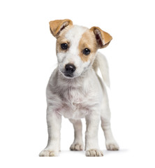 Jack Russell puppy, 3 months old, standing against white backgro