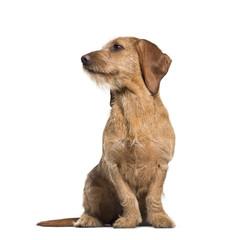 Basset Fauve de Bretagne dog, 8 months old, sitting against whit