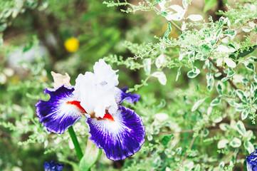Iris violet blanc
