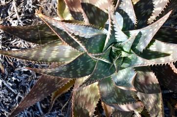 agava cactus