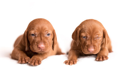 Hungarian Vizsla dogs on the white background