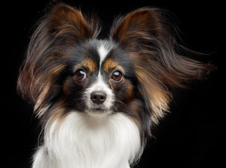 Continental toy spaniel, papillon Dog  Isolated  on Black Background in studio