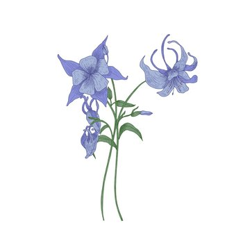Aquilegia or granny's bonnet flowers isolated on white background. Gorgeous drawing of tender meadow plant or wildflower used in culinary as condiment. Realistic hand drawn vector illustration.
