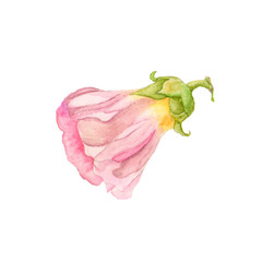 Botanical watercolor illustration sketch of mallow flower on white background. Could be used as decoration for web design, cosmetics design, package, textile