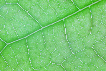 Wall Mural - close up texture of vein leaf background