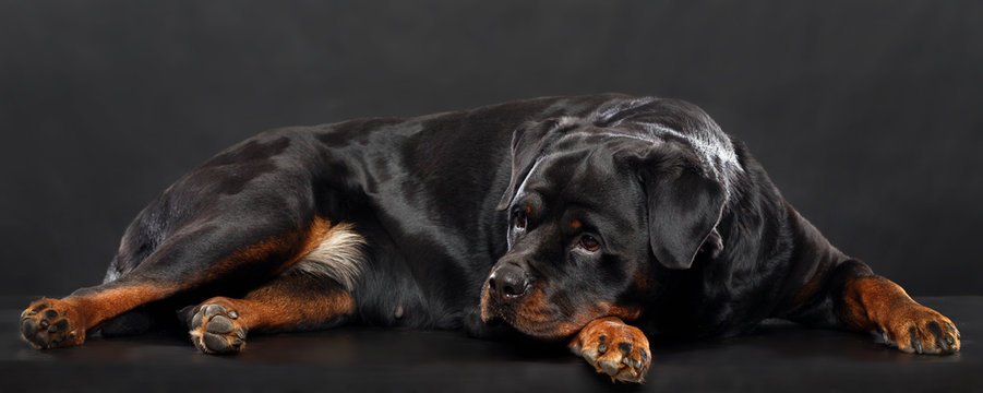 Rottweiler Dog  Isolated  on Black Background in studio