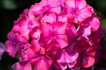 Color outdoor floral macro of a cluster / ball of red phlox blossom with natural blurred background taken on a sunny summer day