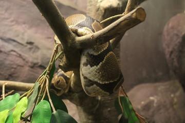 Ball python or Royal python (Python regius)