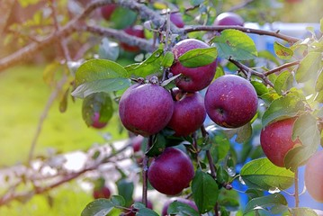 Harvest of apples, red apples of late variety on branches. Toned.