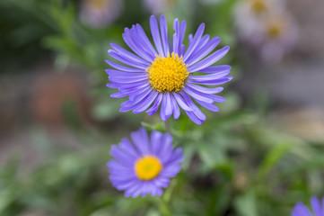 Aster alpinus purple violet flowers in bloom, Alpine aster flowering mountain plant
