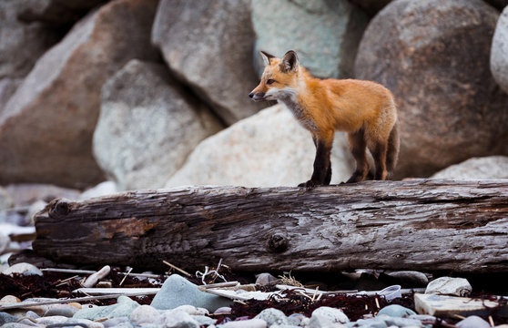 Rexhame Fox