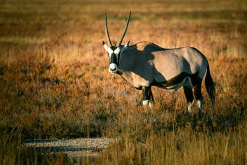 Einzelne Oryxantilope in der Abendsonne, Etosha National Park, Namibi