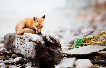 Resilient Fox III