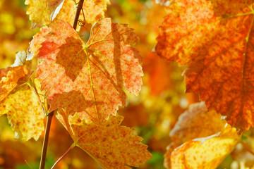 Weinblätter im Herbst