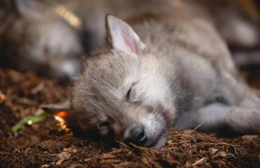Sleeping Wolf Puppies