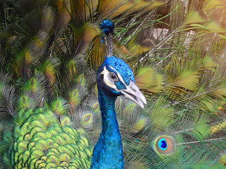 Beautiful spread of a thai peacock