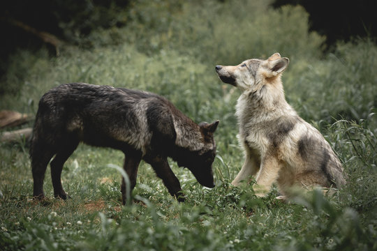 Curious Wolf Pups