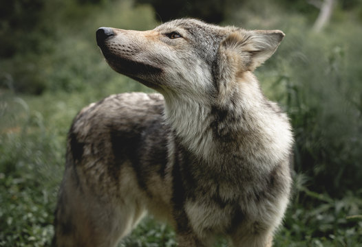 Smelling Wolf