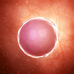 3d rendered medically accurate illustration of a fertilized egg cell
