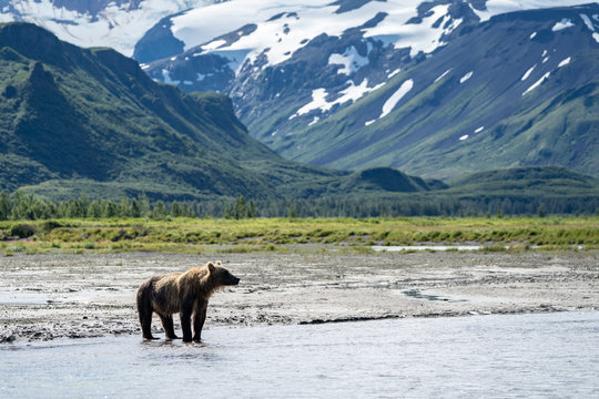 Coastal Alaska brown bear wanders along the river, looking and fishing for salmon in Katmai National Park. Mountains in background