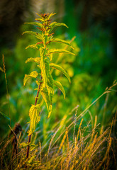 zielona pokrzywa