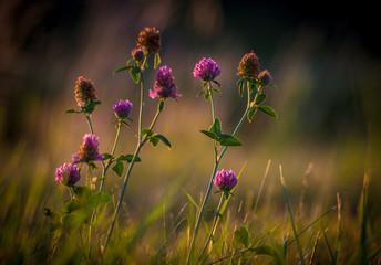 dzika koniczyna na trawie